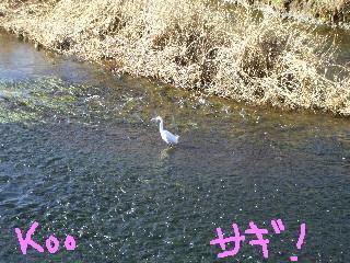 落合川の落ち合いポイントのサギ