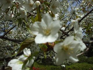 からぼり川堰堤の桜05