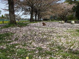 からぼり川の公園・桜散る乱
