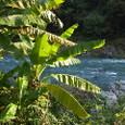 川に バナナの木