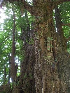 樹齢800年と言う大銀杏