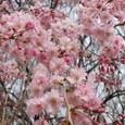 公園のしだれ桜